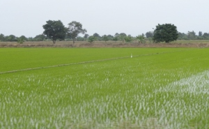 Rice paddies just outside of Tumbes