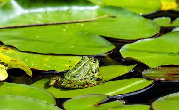 frog-1495034_640